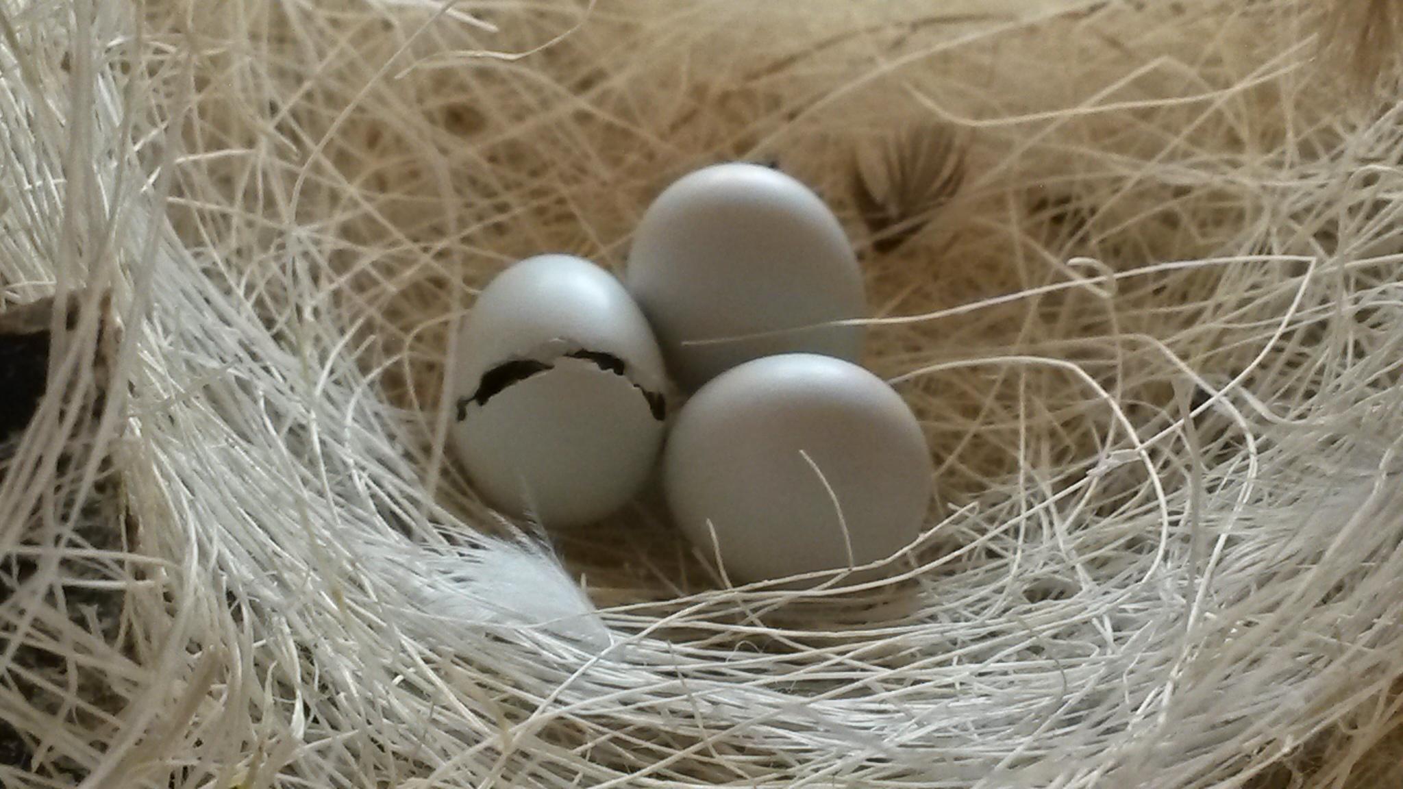 سبحان الله تفقيس بيضة طائر موندار زيبرا فينش ZEBRA FINCH