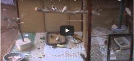 كيف يجب ان يكون قفص طائر الزيبرا فينش. / How to be a cage of a Zebra Finch.
